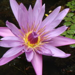 800px-Lotus_Flower_at_GSS
